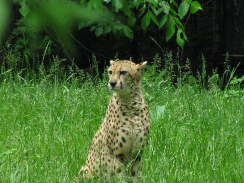 The cheetah exhibit at the Binder Park zoo.