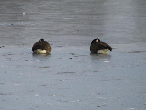 Geese enjoying a morning nap on the ice in Battle Creek, Michigan.